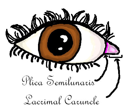 Why do I have that pink corner of the eye? Plica semilunaris: The Third Eyelid